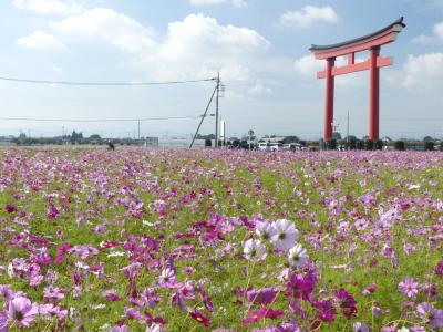 小泉町のコスモス_2017(2)_見頃はやや過ぎていますが、沢山咲いています。(群馬県・伊勢崎市)