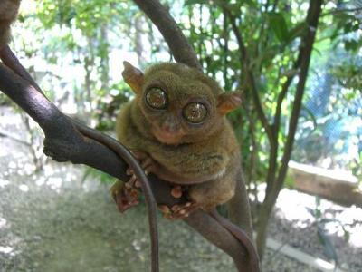 2008夏・フィリピンのセブ島・ボホール島(NO3)世界で一番小さなメガネザル「ターシャ」に会いに