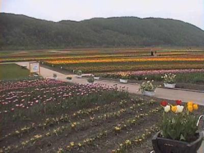 動画 北海道 桜追っかけ 静内の二十間道路、トムラウシ温泉、上湧別の芝桜 3編。