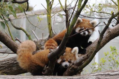 王子動物園 レッサーパンダの双子の赤ちゃん ジャズ &  メロディ 公開 レッサーツインズ誕生 【神戸市 王子動物園】