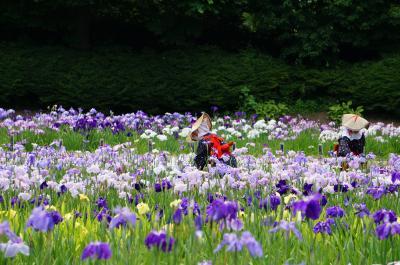 菖蒲VS紫陽花 横須賀しょうぶ園