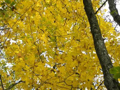秋のミシガン州 ⑦ 黄葉の森を歩く