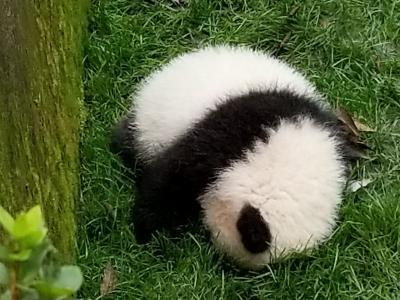 スイートなパンダとスパイシーな四川料理 マイルで行く成都三日間 2017年11月 1日目 &2日目前半 もふもふパンダに癒される&火鍋で泣く