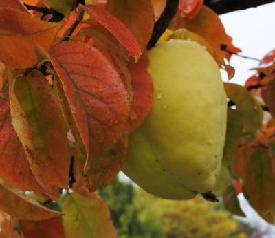 フルーツの丘の紅葉がいい感じで進んでいる(10月25日)