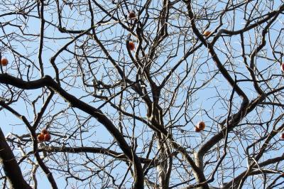 桜大木の脇に柿の木発見(鎌倉広町緑地)