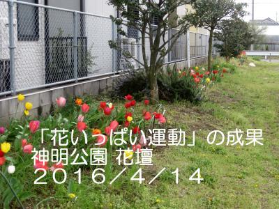 20160414 神明公園 チューリップ 開花(桶川)