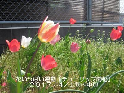 20170407-12 神明公園 チューリップ 開花