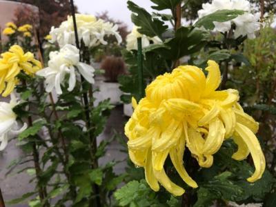 蓮田から伊奈へ2017①~駅からハイキングで住宅地をまち歩き、菊の花を堪能~