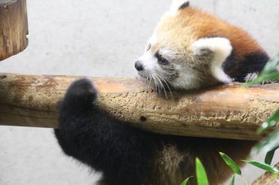 初めて自分で運転してアクセスした雨の埼玉こども動物自然公園は紅葉麗し~3週末続けて見に行ったレッサーパンダのハナビちゃんの赤ちゃん&今年2017年生まれの動物赤ちゃん写真のオリジナル・カレンダーをゲット!