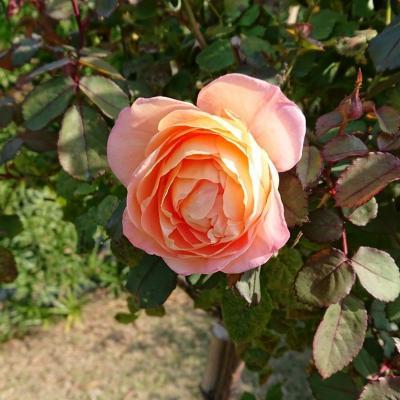2017年度の見頃は11月中旬!魅惑の秋薔薇を見に行こう。イングリッシュローズガーデン