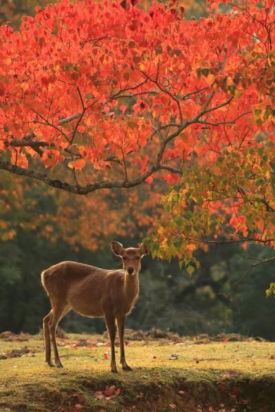 奈良 紅葉めぐり~奈良公園、吉城園、依水園、圓成寺