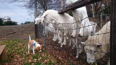 201711,ワンコと一緒にハイジ牧場,おとなのヤギの目は怖い