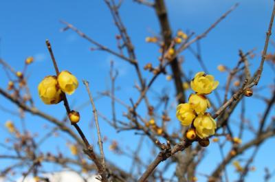 2017年2月 宝登山へ蝋梅を見に行ってきました