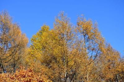 カラマツ林の紅葉