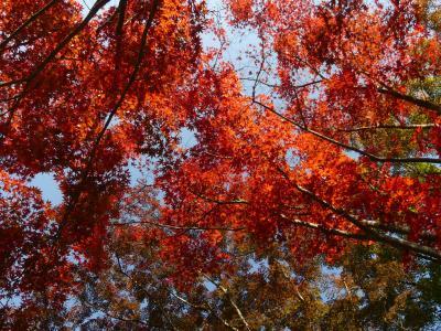 織姫山もみじ谷の紅葉_2017_見頃を少し過ぎていたようです。(栃木県・足利市)