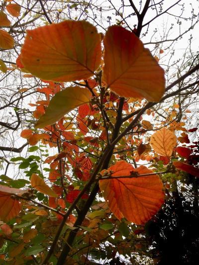 朝の公園散歩 井の頭公園の紅葉 1