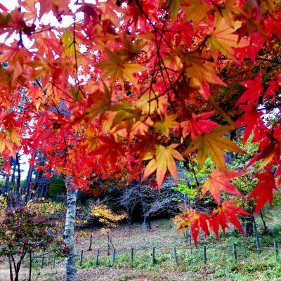 紅葉真っ盛り!まさにピークの高尾山