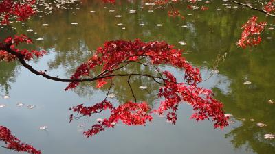紅葉を求めて六甲山へ 神戸市立森林植物園 下巻。