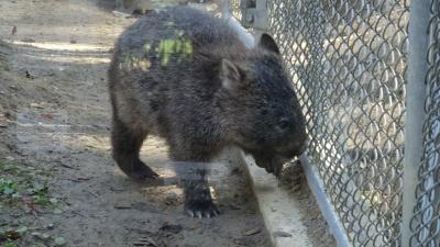 池田市立五月山動物園へ、ウオンバットに逢いに行く。