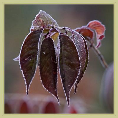 Solitary Journey[1932]氷点下2℃!霜で白く縁取られた紅葉を切り撮ってきました。<標高800mの八幡高原>広島県北広島町