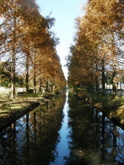 メタセコイヤの紅葉が素晴らしい加須はなさき公園を訪れる・・・①見事なメタセコイヤの紅葉