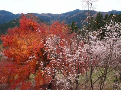 ♪紅葉と冬桜のコラボレーション♪ ついでに世界遺産の「高山社跡」もドライブ