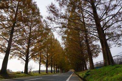 滋賀県 マキノ メタセコイア並木と佐川美術館