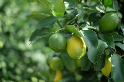 レモン畑を見たい!大崎下島