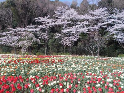 桜とチューリップの コラボ @はままつ フラワーパーク(お花 20の10)You Tube Perfume 15本