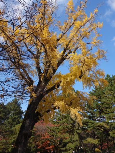 御苑の大銀杏に会いに。今年も元気に黄葉をつけているかな。