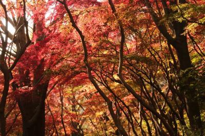 鎌倉の紅葉めぐり ~雑木林が真っ赤に染まる獅子舞~