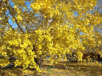 「稲沢・祖父江」矢合観音とイチョウで黄色に染まった祖父江を巡る旅