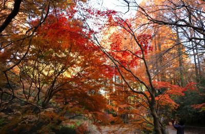 晩秋の生田緑地、メタセコイアで紅葉撮りおさめ・・・