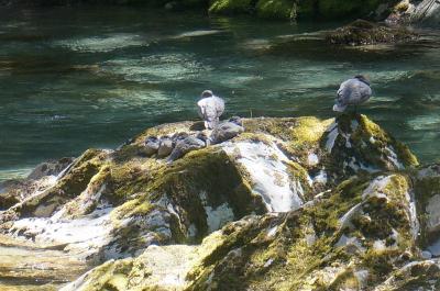2017ニュージーランド南島トレッキングの旅⑦(ブルーダック フィオ(マオリ語)に出会ったルートバーントラック一日ハイキング)