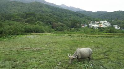 """香港一牧歌的な村 """"水牛の楽園"""" 貝澳を歩く"""