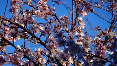 伊丹市 瑞ヶ池から荒牧バラ公園まで花を求めて 街歩き。