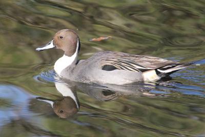 隅田公園でにわかバードウオッチャーになる。水鳥とカワセミに和むが、カメラとレンズが限界。