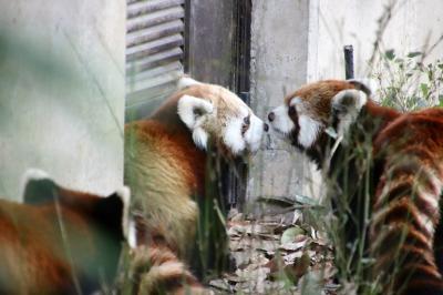 ドライブでレッサーパンダの赤ちゃんお外デビューと親子3頭の同居目当てに埼玉こども動物自然公園へ&帰りは温泉にゆっくり浸かる