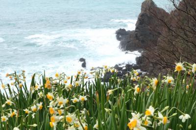 可愛い妖精のような越前海岸水仙と怒涛の海鳴り♪