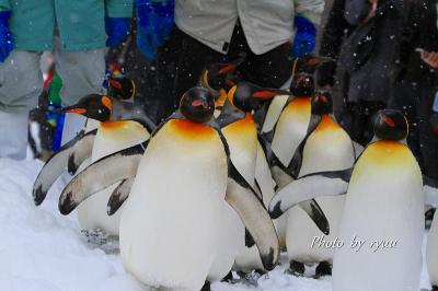 ペンギンの散歩を見るために旭山動物園へ!!