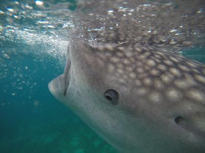 セブ旅行 2    オスロブジンベイザメと泳ぎたい!
