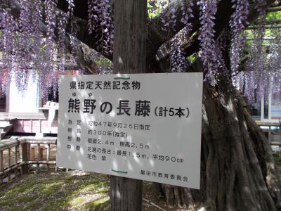 なんと樹齢850年・・熊野の長藤 @いわた(お花 20の11)Little Glee Monster 10本