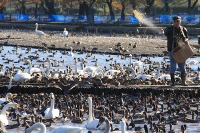 2017年秋|新潟・山形の凸凹旅【10】-- 阿賀野の秋の田風景と、白鳥おじさんがエサを撒く水禽の楽園「瓢湖水きん公園」--