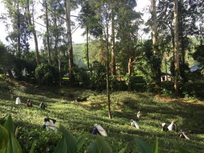 遺跡とお茶を求めてスリランカの旅ーヌワラエリアでお茶と自然を楽しむ