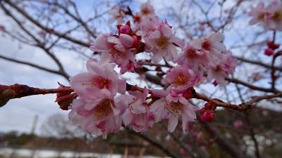 池田城跡公園へ十月桜を見に行きました。
