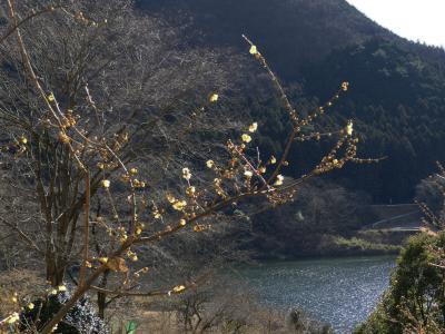 梅田湖のロウバイ_2018_咲き始め、ほとんど蕾。周辺工事中で散策できない。(群馬県・桐生市)