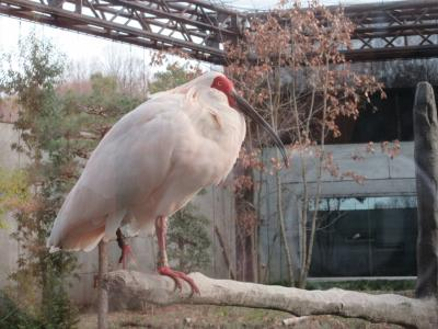 加賀温泉郷のすぐ近くに朱鷺が保護されていました!