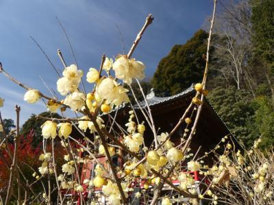 清水寺(せいすいじ)のロウバイ_2018_9分咲きくらいで見頃、綺麗です。(栃木県・栃木市)