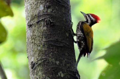 雨季のシンガポール探鳥 その5 シンガポール植物園・Canopy Trail Points