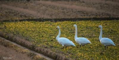 湖北!! 山本山の おばあちゃん 白鳥・ 美山 雪のかやぶきの里・ お正月の 城崎
